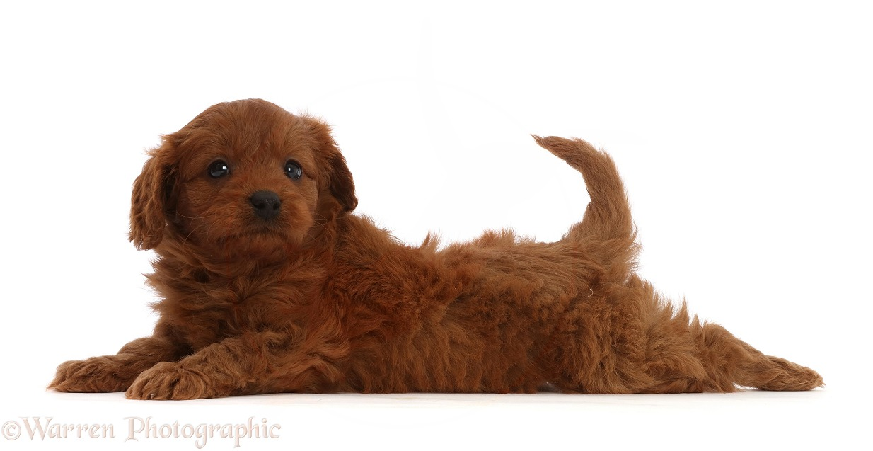 Red Cavapoo puppy, 7 weeks old, lying stretched out with head up, white background