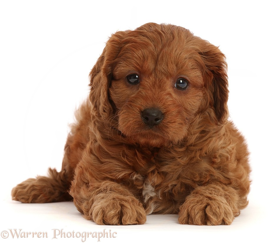 Red Cavapoo puppy, 7 weeks old, white background