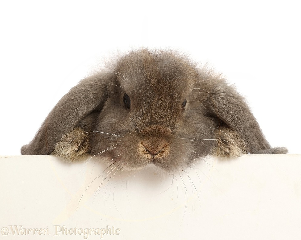 Grey Lop rabbit, 12 weeks old, paws over, white background