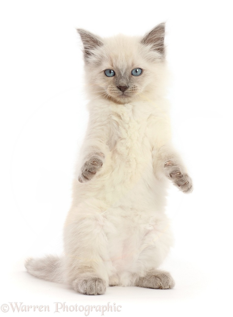 Ragdoll cross kitten, 8 weeks old, white background