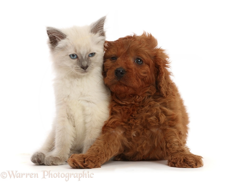 Red Cavapoo puppy, 7 weeks old, and Ragdoll cross kitten, 8 weeks old, white background
