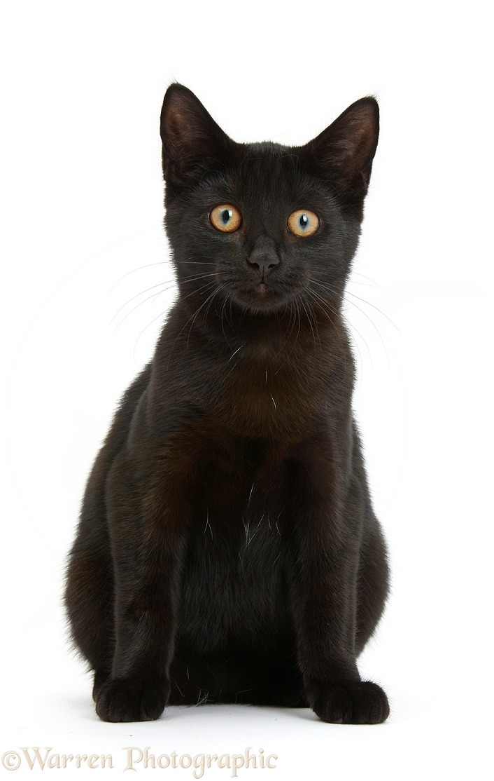 Black female cat, Pachie, 5 months old, sitting, white background