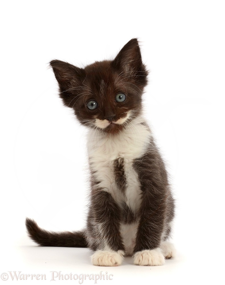 Characterful smoke Black-and-white kitten, white background