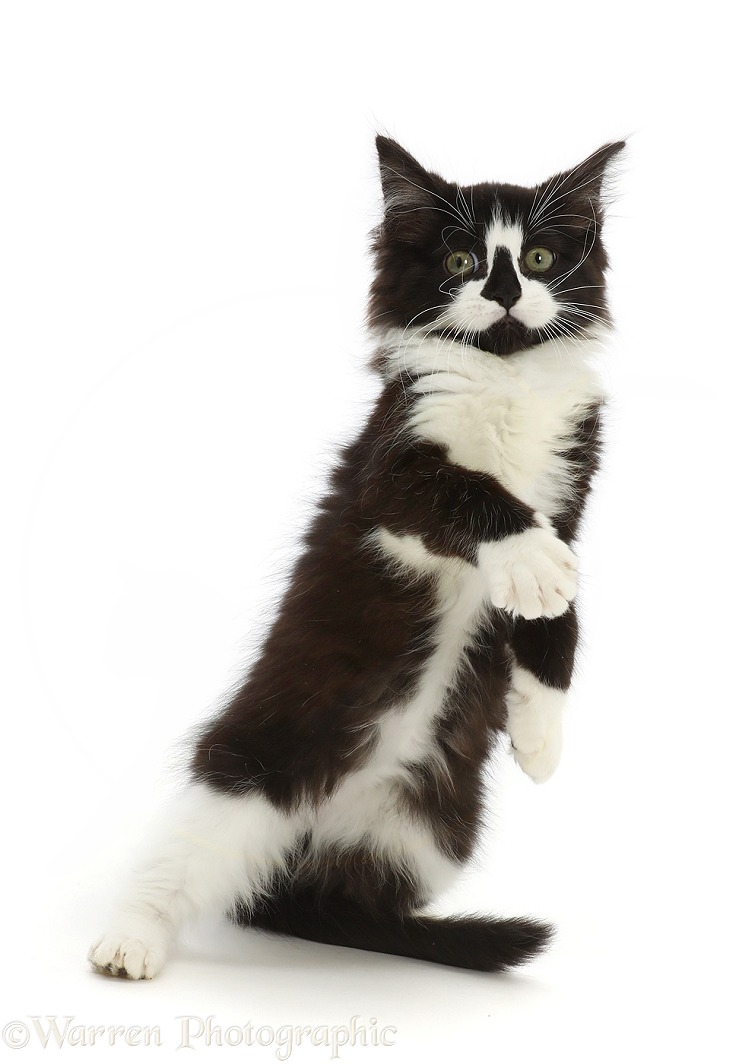 Black-and-white kitten standing up with raised paws, white background