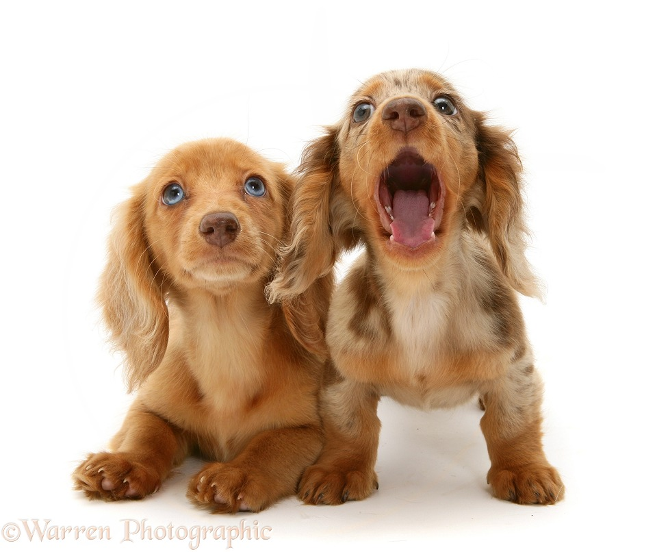 Cream Dapple and Chocolate Dapple Miniature Long-haired Dachshund pups, one yawning, white background