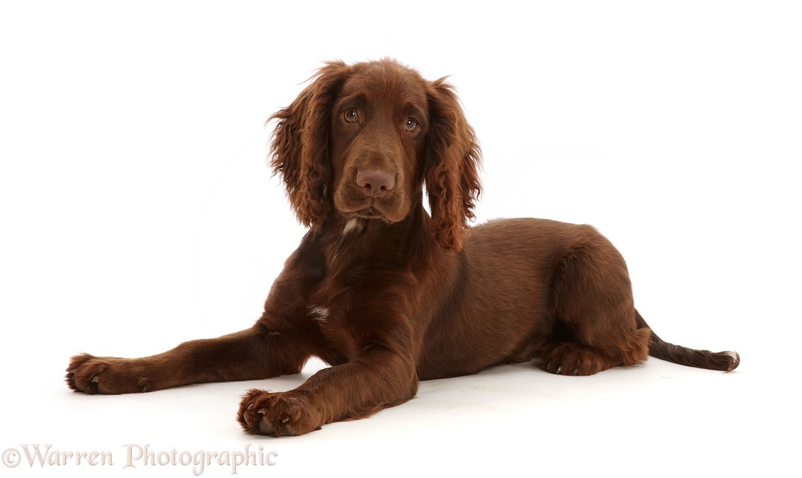 Chocolate working Cocker Spaniel puppy, 11 weeks old, white background