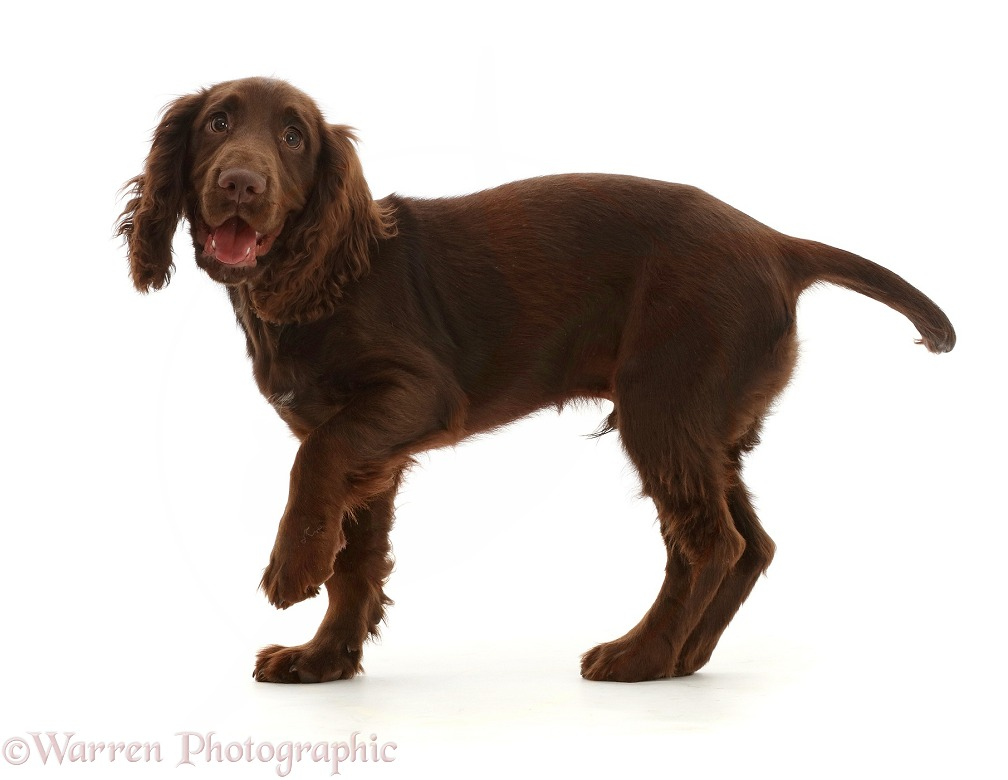 Chocolate working Cocker Spaniel puppy, 11 weeks old, standing, white background