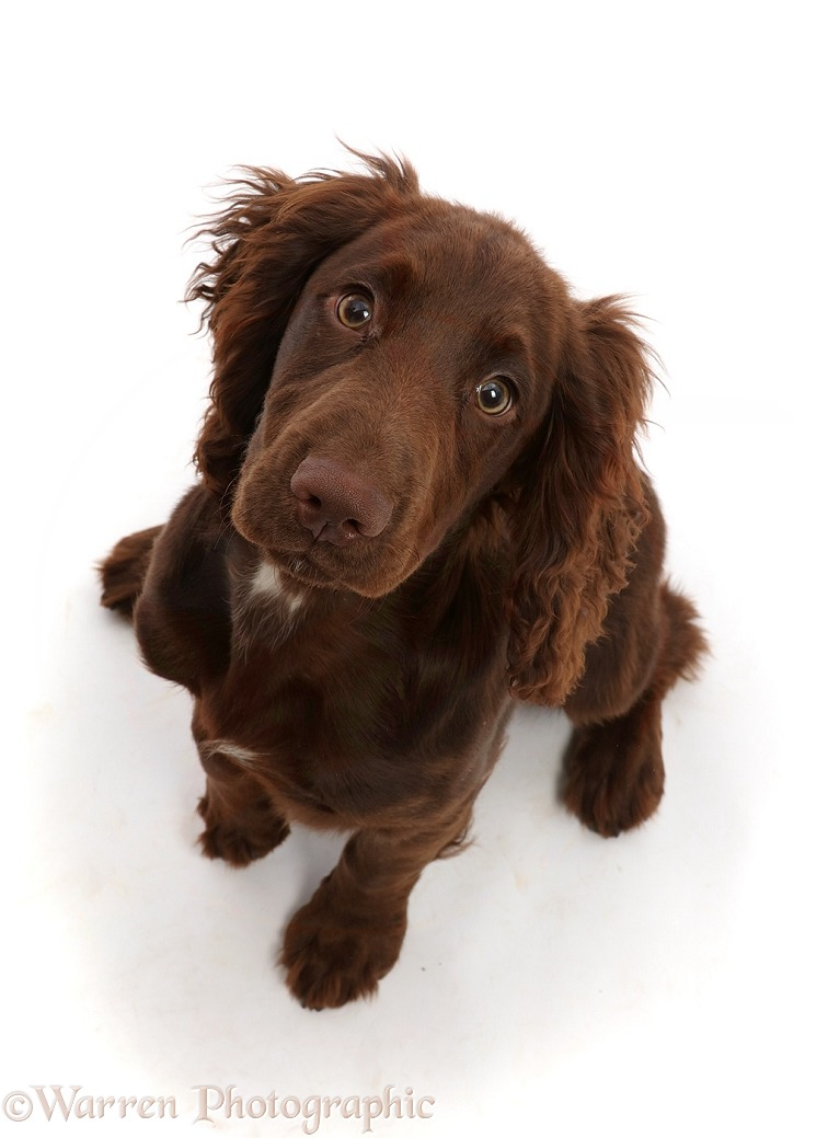 Chocolate working Cocker Spaniel puppy, 11 weeks old, sitting looking up, white background