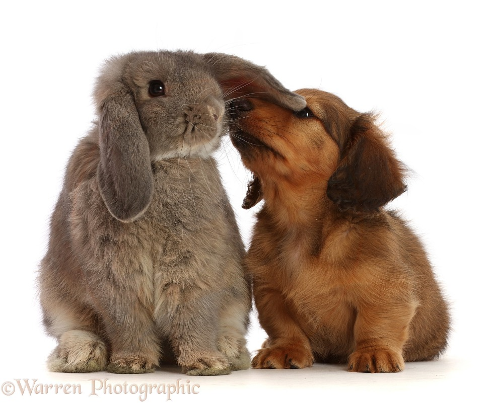 Cream shaded Dachshund puppy, 7 weeks old, inspecting ear of grey Lop bunny, white background