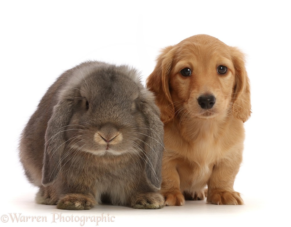 Cream Dachshund puppy, 7 weeks old, and grey Lop bunny, white background