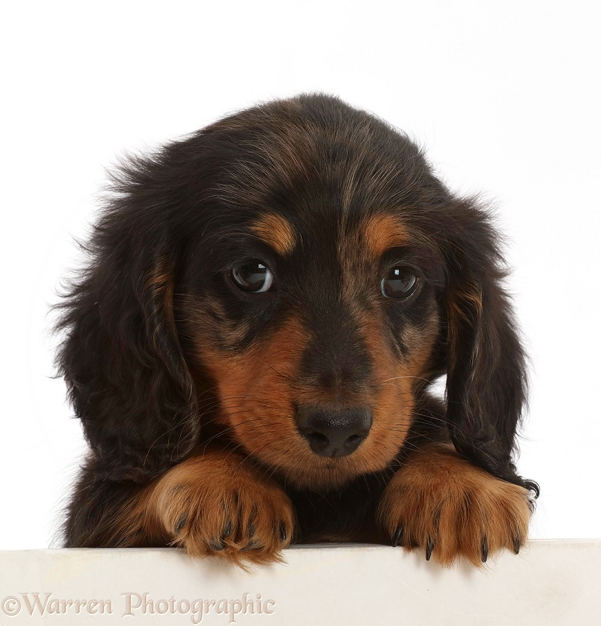 Silver Dapple Dachshund puppy, 7 weeks old, paws over, white background