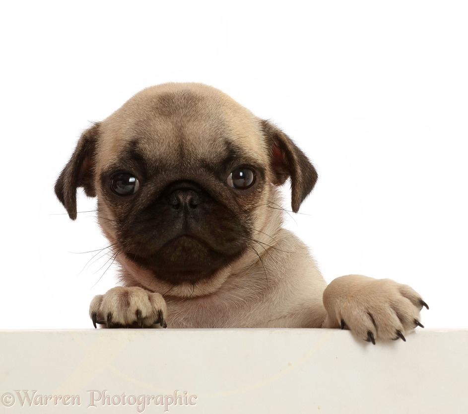 Fawn Pug puppy, 8 weeks old, paws over, white background