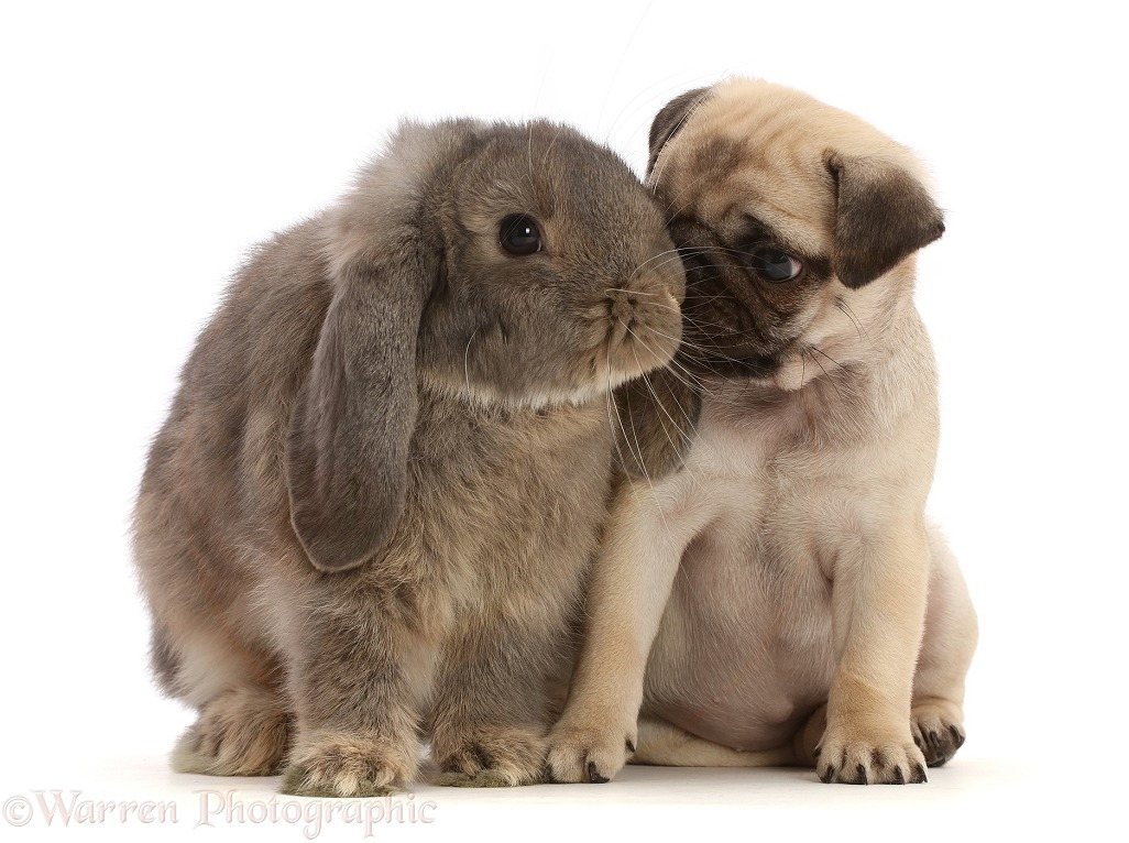 Fawn Pug puppy, 8 weeks old, and grey Lop bunny, white background