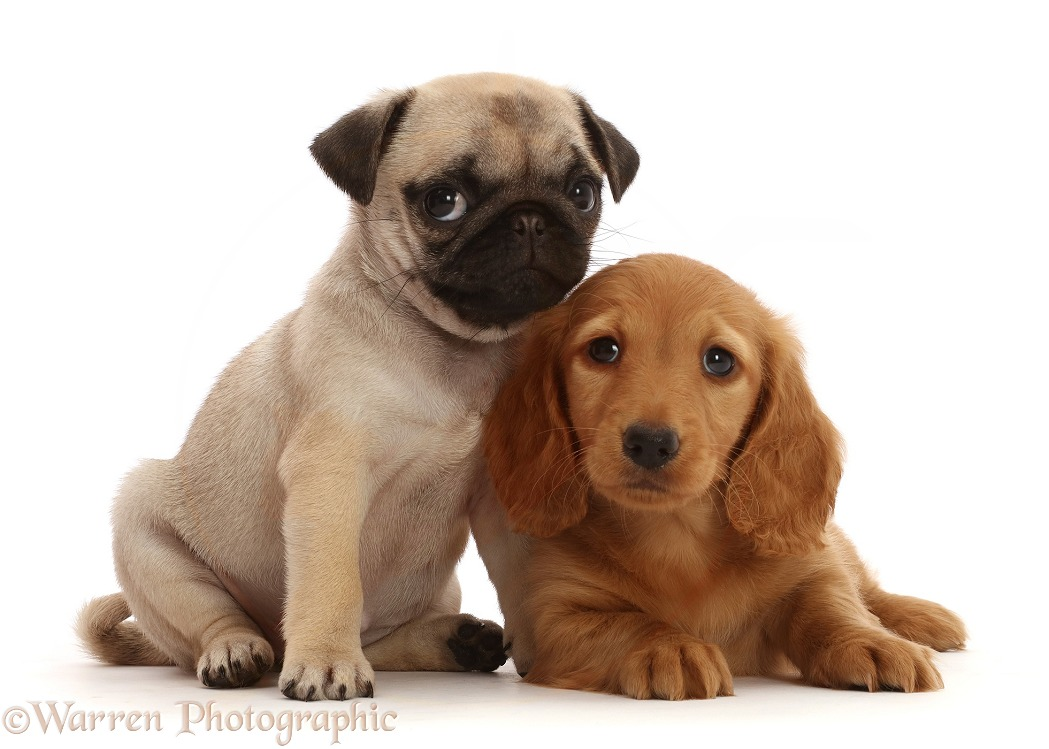 Dogs: Dachshund puppy, and Pug puppy photo WP48024