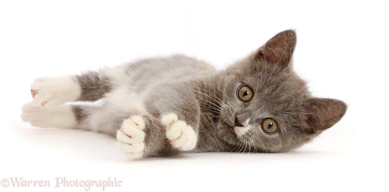 Blue-and-white Ragdoll-cross kitten, 11 weeks old, lying on side, white background