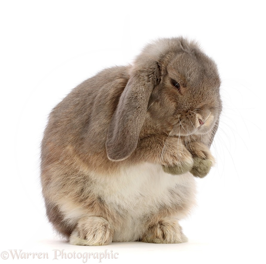 Grey Lop bunny grooming itself, white background