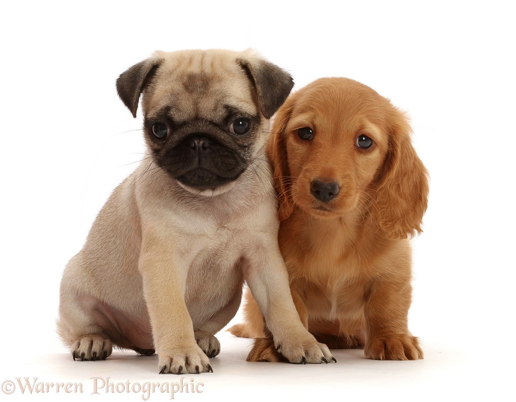 Cream Dachshund puppy, 7 weeks old, and Fawn Pug Puppy, 8 weeks old, white background