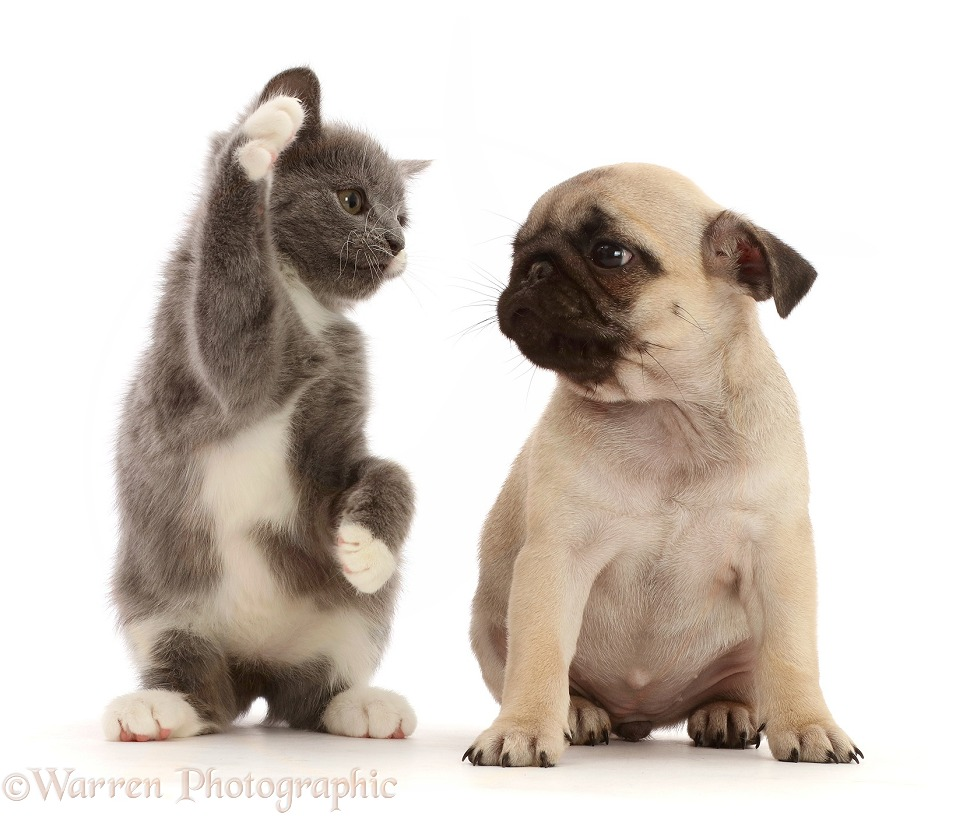 Pets: Blue-and-white kitten waving at fawn Pug puppy photo