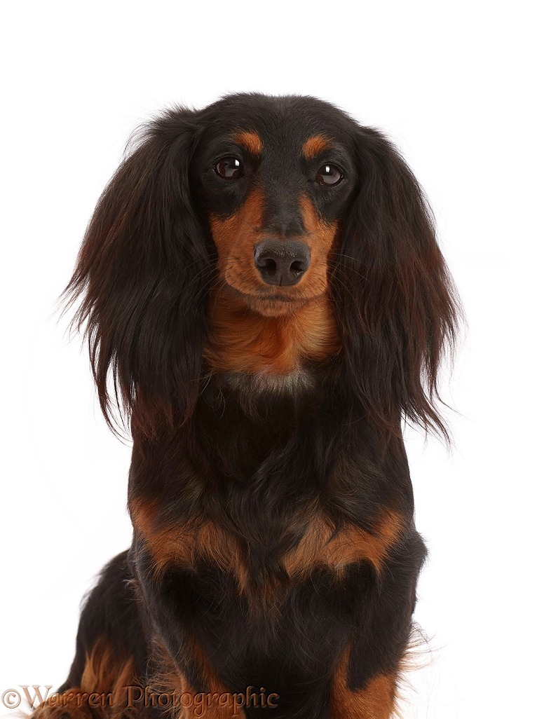 Long haired Dachshund bitch, white background