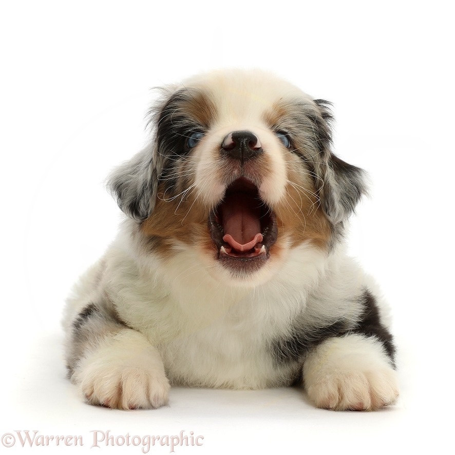 Mini American Shepherd puppy, 7 weeks old, yawning, white background