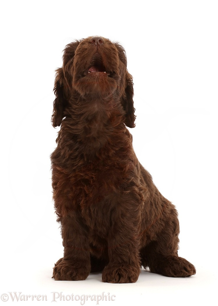 Chocolate Labradoodle puppy, howling, white background
