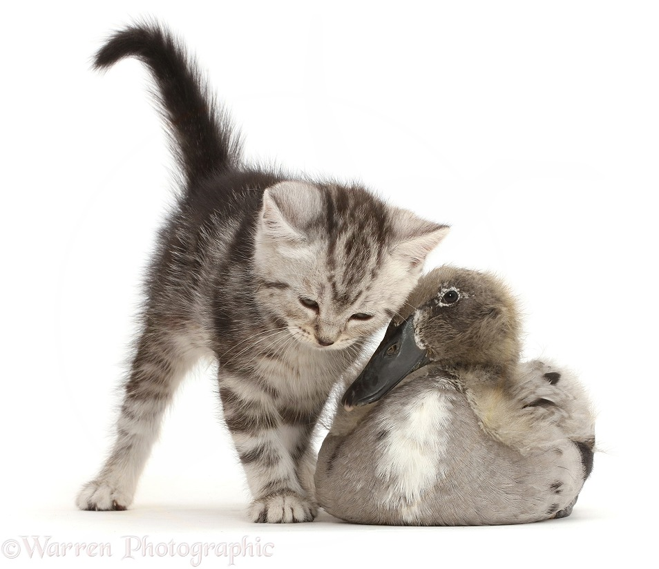 Silver tabby kitten with Indian Runner duckling, white background