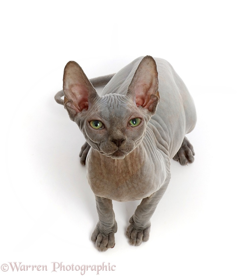Grey Sphynx kitten, 11 weeks old photo WP48086