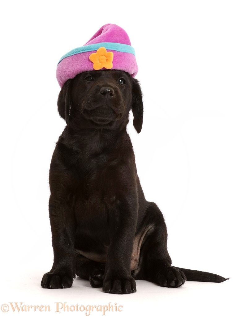 Black Labrador Retriever puppy with silly hat on, white background