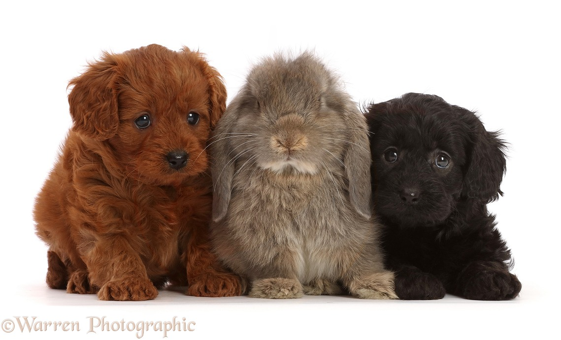 Black and red Cavapoo puppies, 7 weeks old, and grey Lop rabbit, white background
