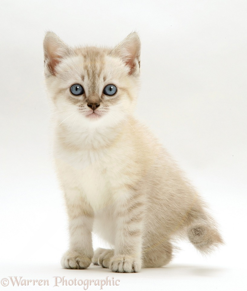 Birman-cross kitten, sitting, white background