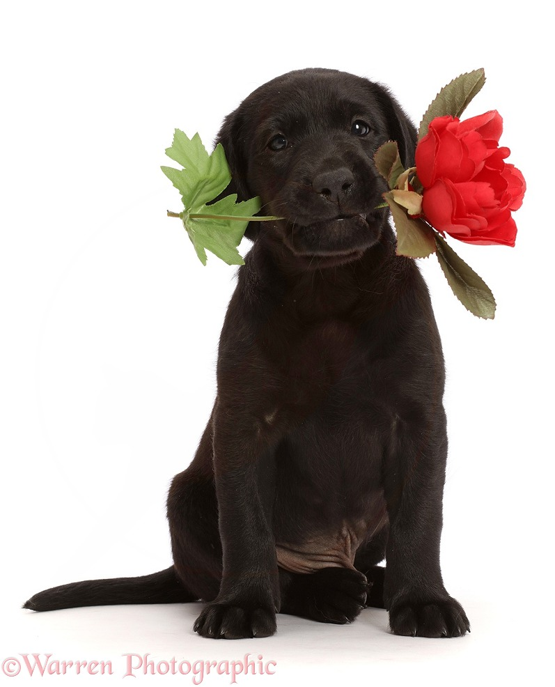 Black Labrador Retriever puppy, 6 weeks old, holding a rose, white background