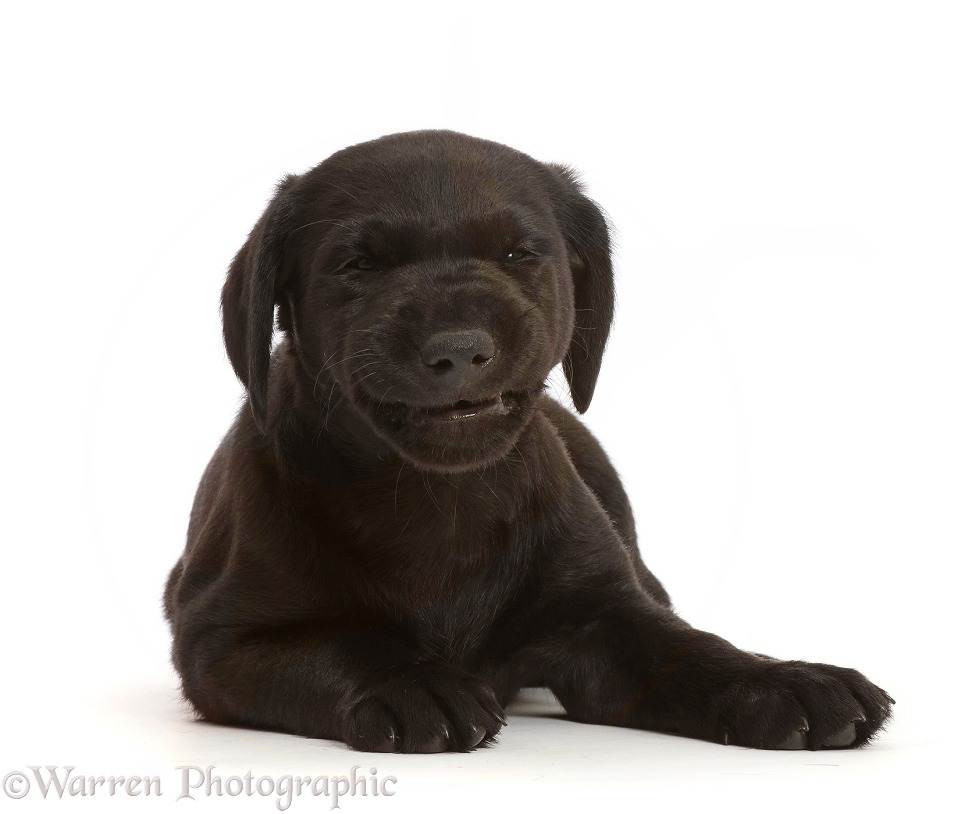 Black Labrador Retriever puppy, 6 weeks old, making a funny face at the end of a yawn, white background