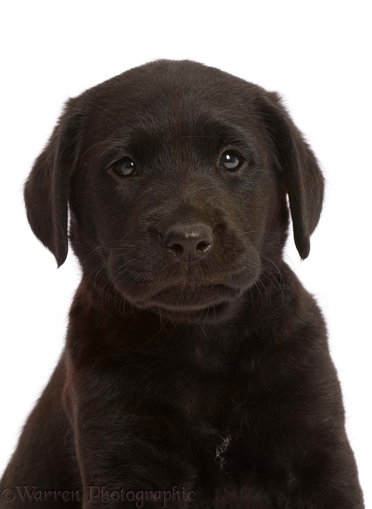 Black Labrador Retriever puppy, 6 weeks old, white background