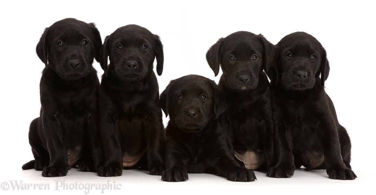 Five Black Labrador Retriever puppies, 6 weeks old, white background
