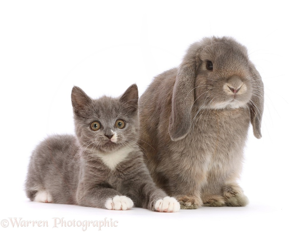 Blue-and-white Ragdoll-cross kitten, 11 weeks old, and grey Lop bunny, white background