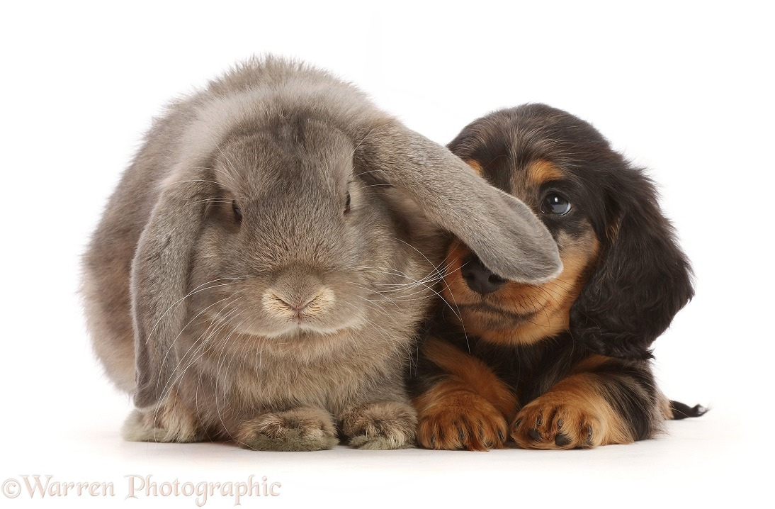 Silver Dapple Dachshund puppy, 7 weeks old, looking up at grey Lop bunny, white background