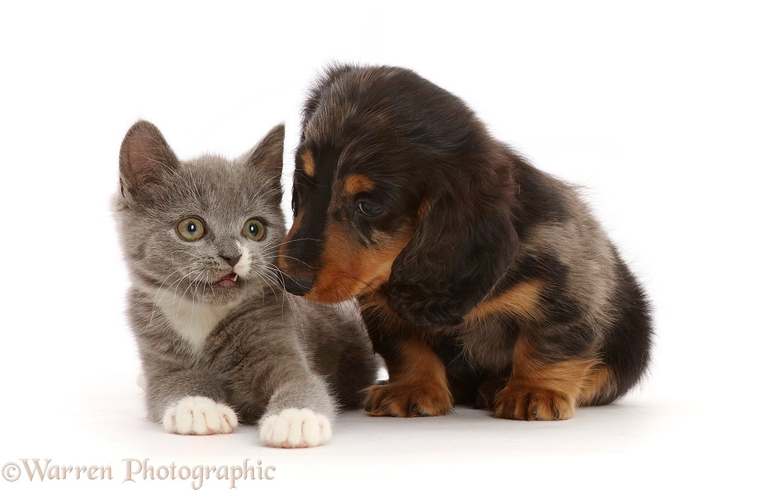 Blue-and-white Ragdoll-cross kitten, and Dachshund puppy, white background