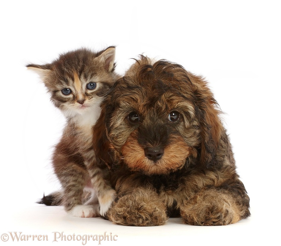 Tortie Tabby kitten, and matching Cavapoo puppy, white background