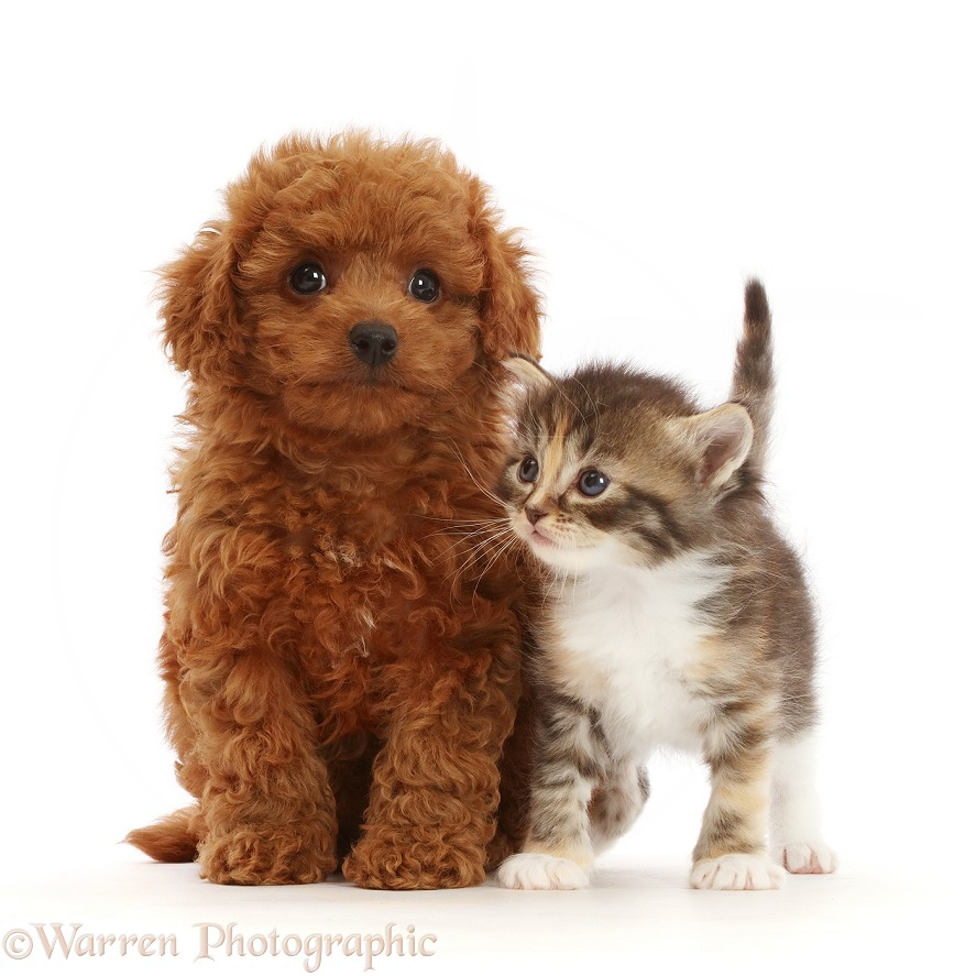 Tortie Tabby kitten, and red Cavapoo puppy, white background