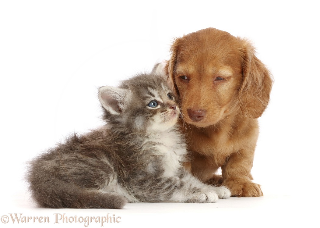 Cream Dachshund puppy and tabby kitten, white background
