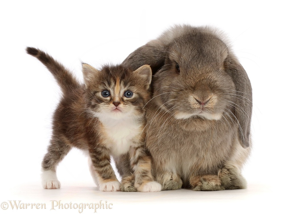 Grey Lop bunny with tortie tabby kitten, white background