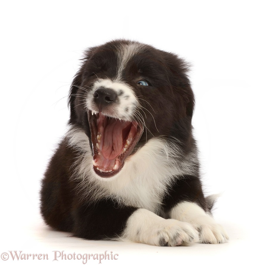 Black-and-white Mini American Shepherd puppy yawning, white background