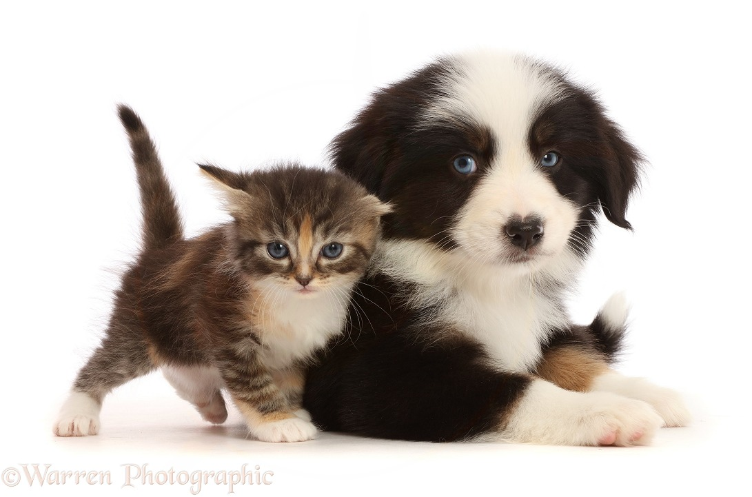 Tricolour Mini American Shepherd puppy and tortie tabby kitten, white background