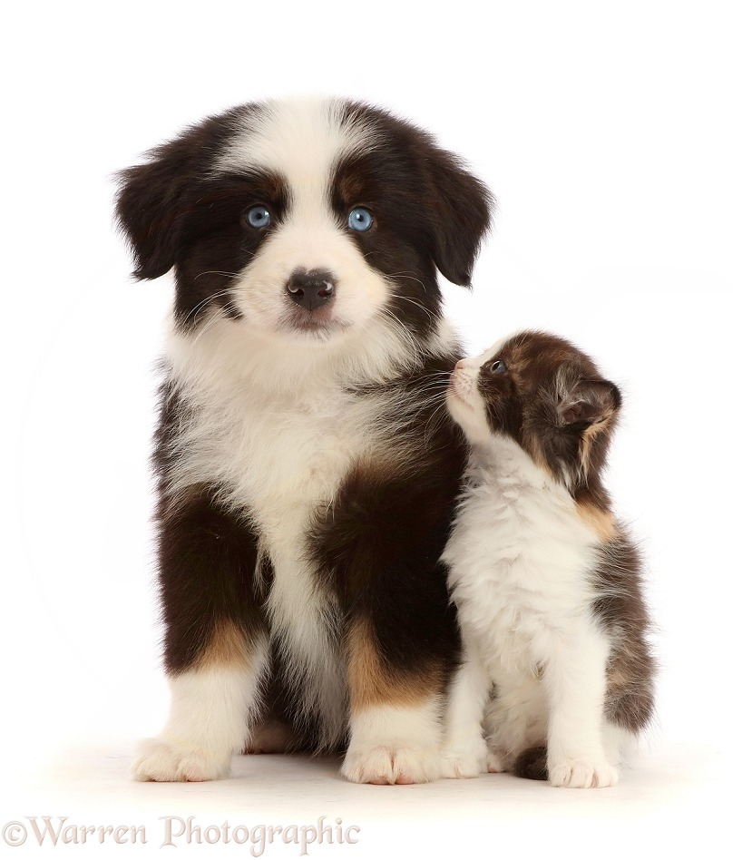 Tricolour Mini American Shepherd puppy and calico kitten, white background