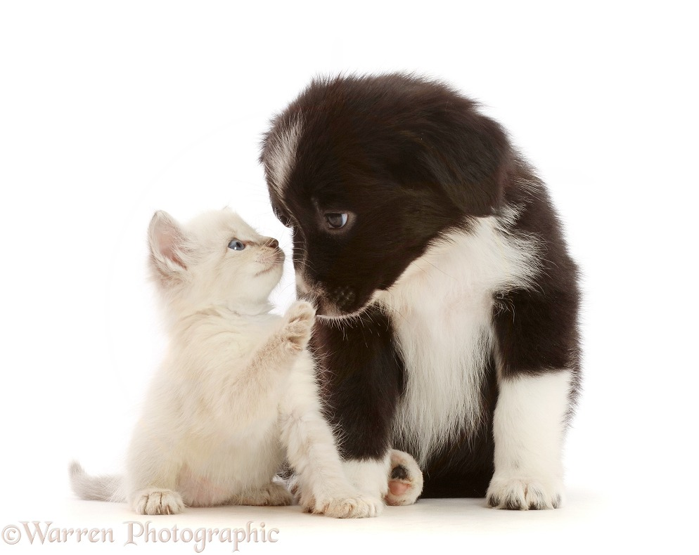 Black-and-white Mini American Shepherd puppy and kitten, white background