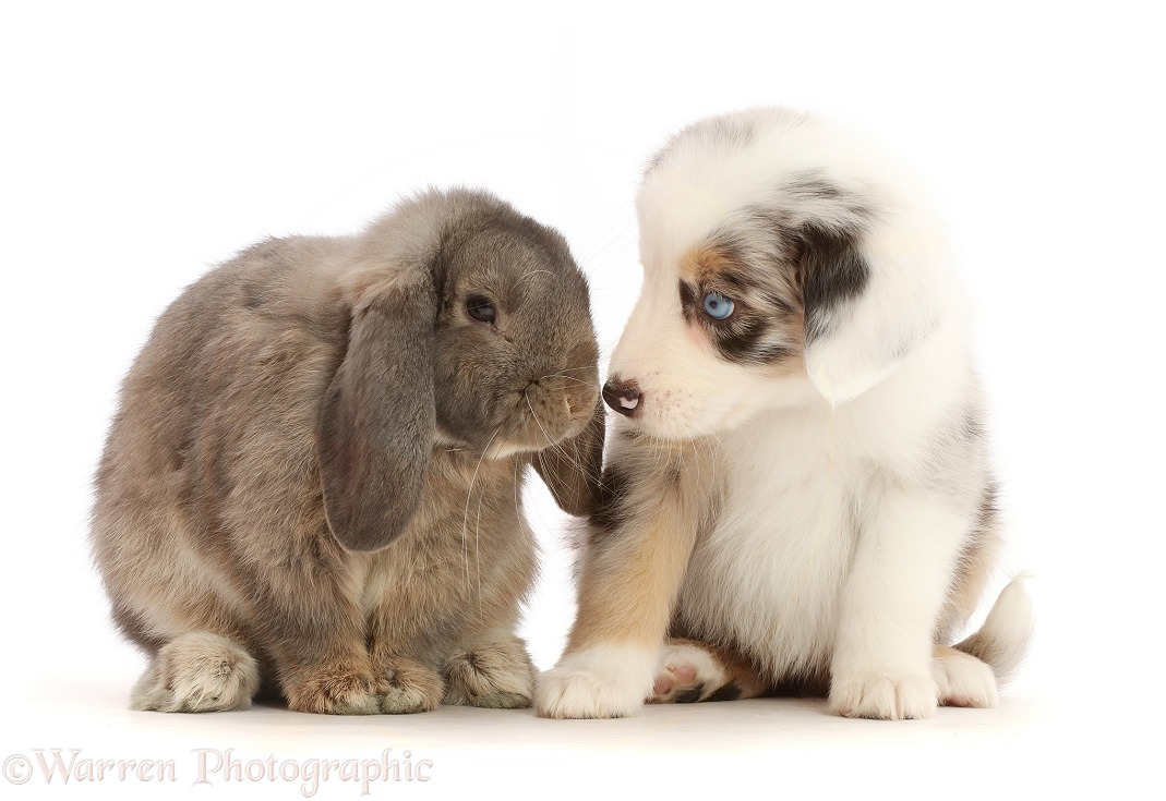 Merle Mini American Shepherd puppy and Lop bunny, white background