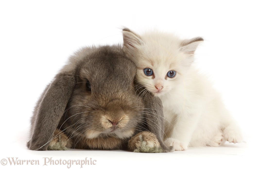 Colourpoint kitten and lounging Grey Lop bunny, white background