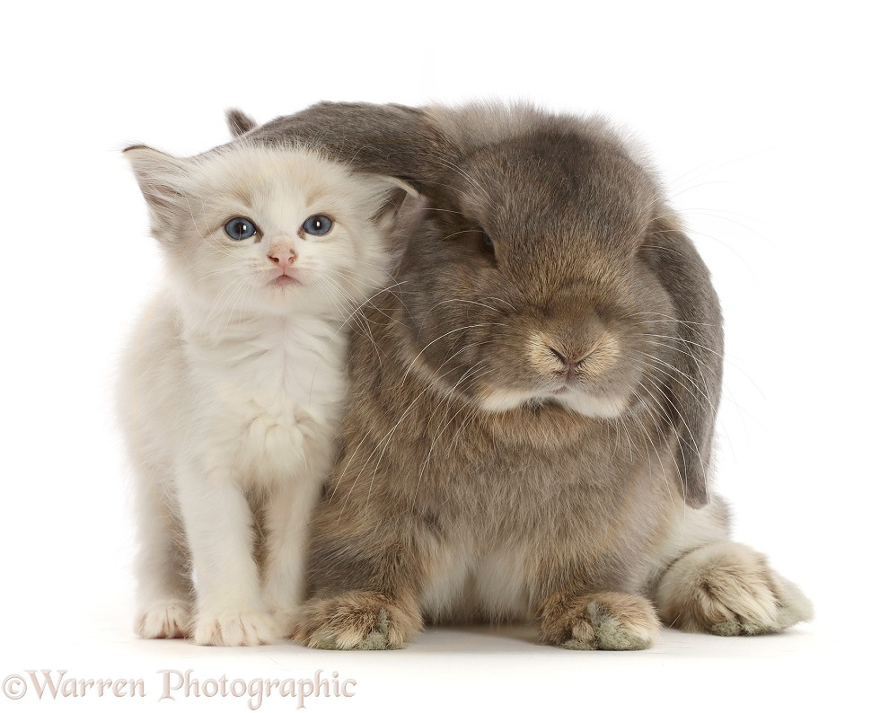 Colourpoint kitten and grey Lop bunny, white background
