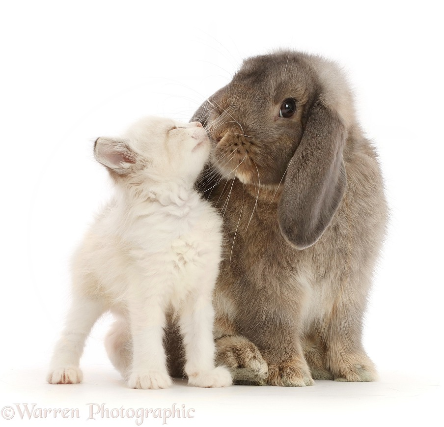 Grey Lop bunny kissing colourpoint kitten, white background