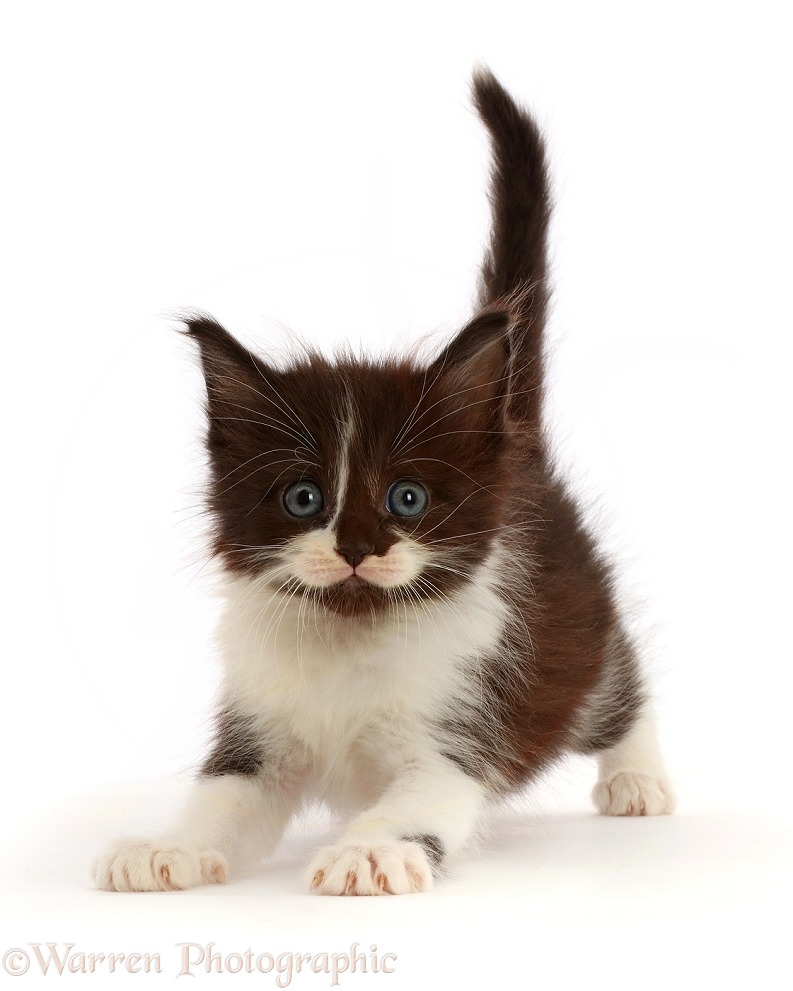 Black-and-white kitten pouncing, white background